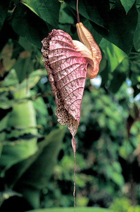 Aristolochia grandiflora Sw. (A. gigas Lindl.) 